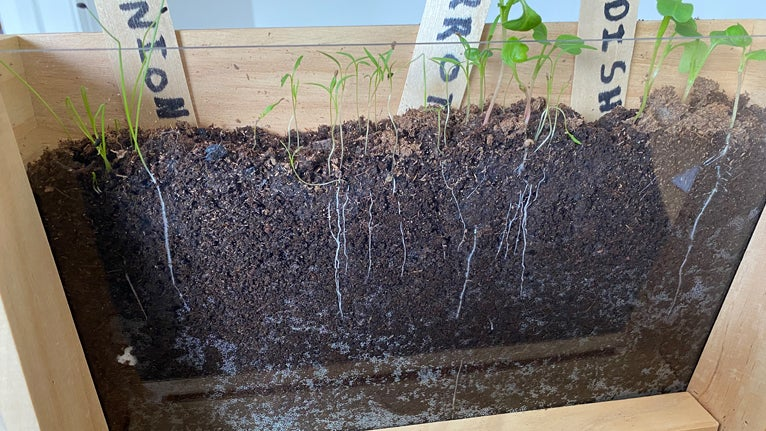 Carrots growing in Root Viewer